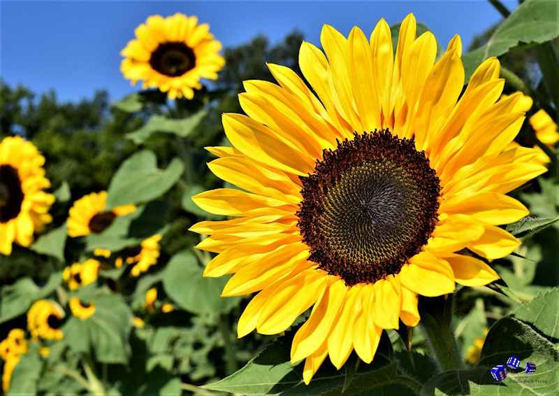 12 High quality prints - Sunflowers